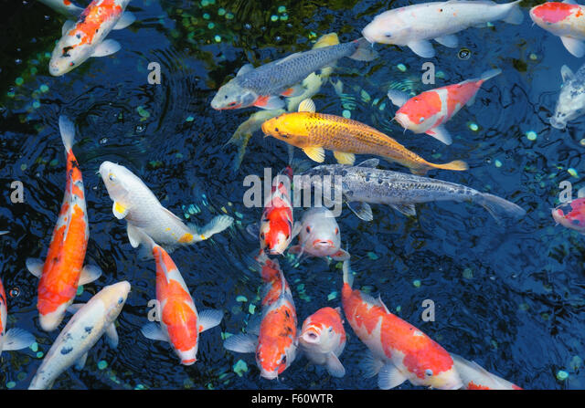 Koi fish in pond stock photos koi fish in pond stock for Koi pool water gardens poulton