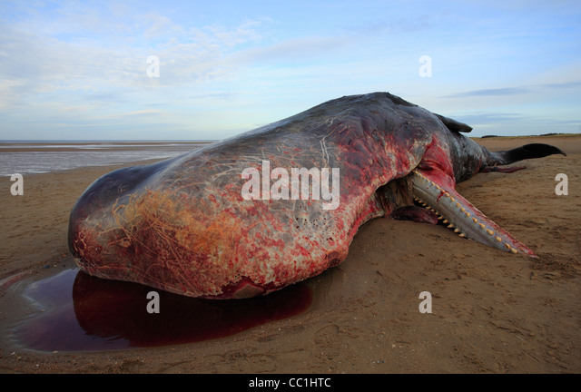 A beached sperm whale which washed up on Old Hunstanton beach on Christmas Eve 2011. - Stock Image