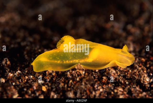 Gymnodoris sp. - Stock Image