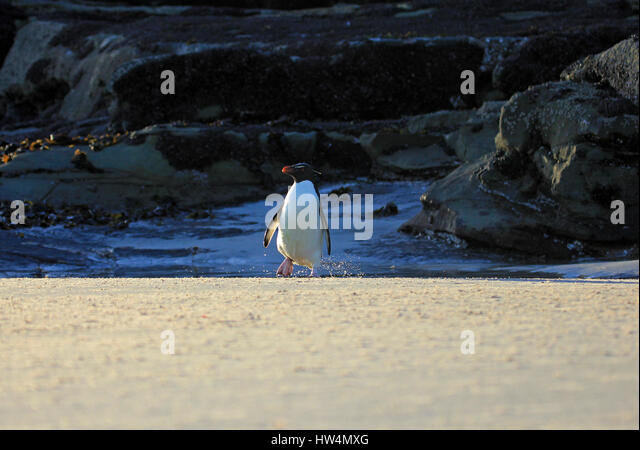 Rockhopper penguin in the neck, Falkland Islands - Stock Image
