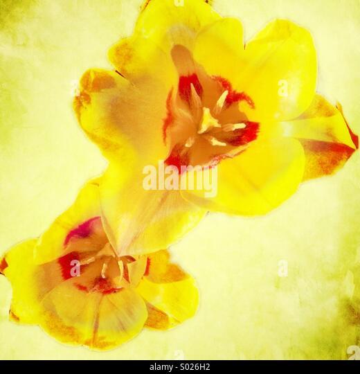 Pair of yellow tulips - Stock-Bilder