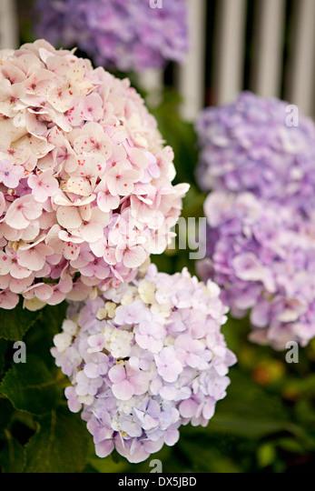 Pink and purple hydrangeas, close up - Stock Image