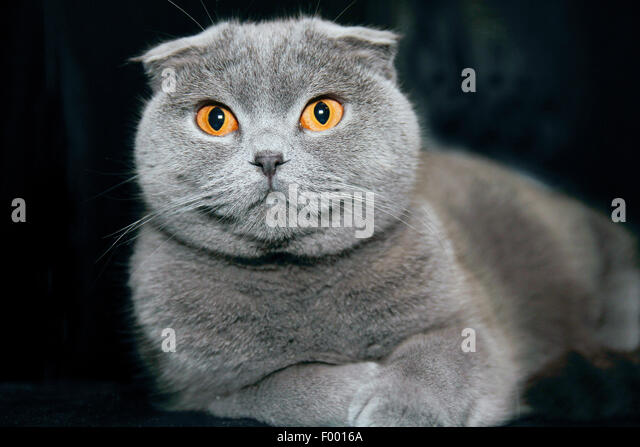 British Shorthair (Felis silvestris f. catus), grey-haired cat with floppy ears in front of black background - Stock Image