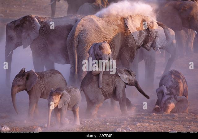 Group of elephants dust bathing Etosha National Park Namibia - Stock Image