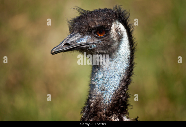 Emu close up, Australia - Stock-Bilder
