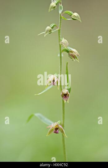Broad-leaved helleborine (Epipactis helleborine) in bloom. Its nodding flowers vary from greenish pink to purple. - Stock-Bilder