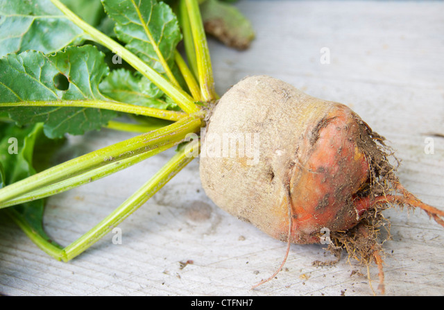 Yellow beet root after being harvested in a allotment garden. - Stock Image