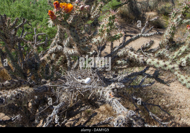 White-winged dove (Zenaida asiatica), nest with egg and young bird in Cylindropuntia, USA, Arizona, Phoenix - Stock Image