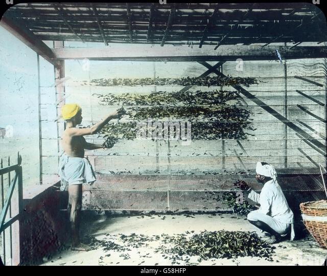 Der Exportartikel Indiens ist Tee. Hier wird er nach der Ernte getrocknet. India, Asia, travel, Indian, farmer, - Stock Image