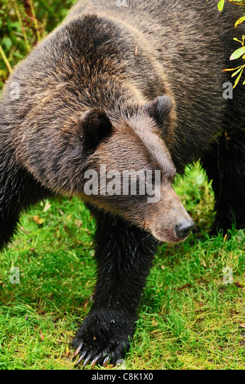 A  female grizzly bear looking away - Stock Image