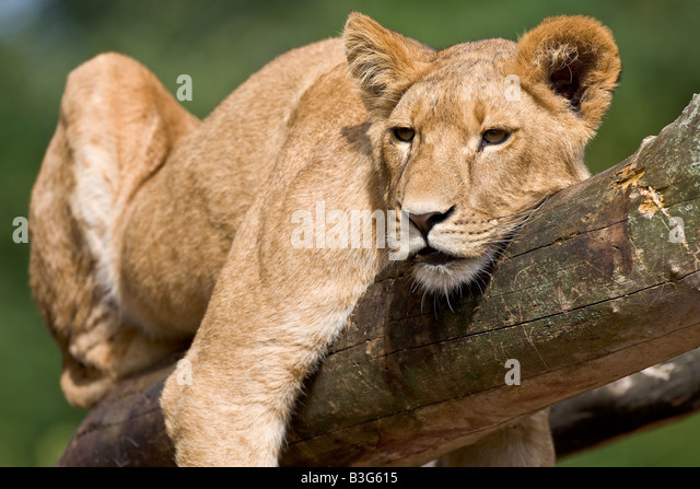 Young resting lion - Stock Image