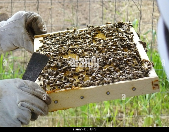 Honeybees pollinating stock photos honeybees pollinating for Us fish and wildlife