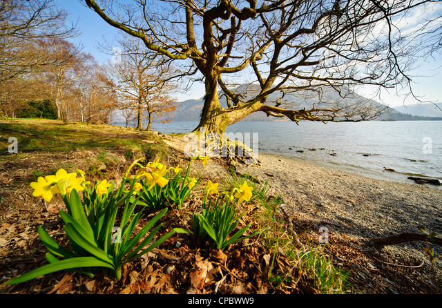 """Wild daffodils at Glencoyne, Ullswater, the location made famous by Wordsworth's poem """"I wandered lonely as a cloud' - Stock Image"""