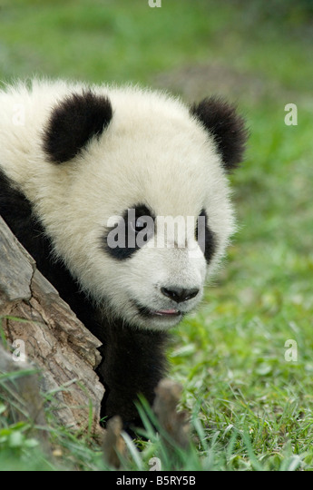 A young panda cub Ailuropoda melanoleuca Sichuan China - Stock-Bilder