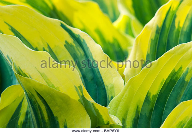 Hosta 'ode ann rembrandt' leaf abstract pattern - Stock Image