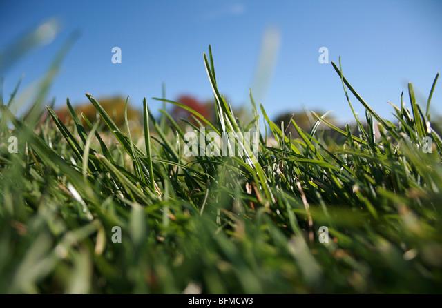 close up, blades of grass under blue sky - Stock Image
