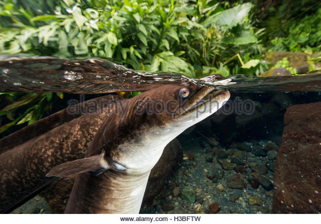 half and half view of a fresh water eel feeding below the surface - Stock Image