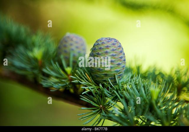 pine-cone and evergreen tree background - Stock-Bilder