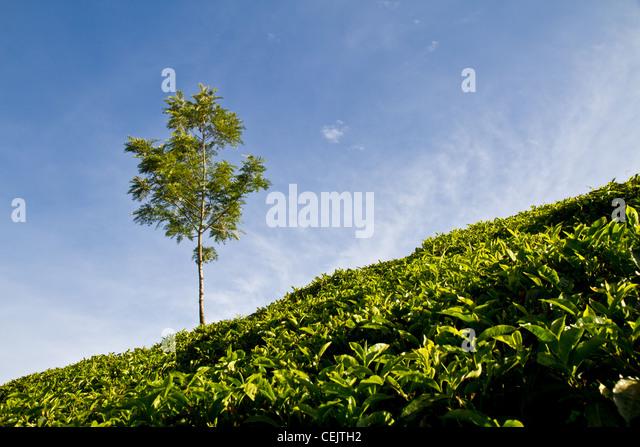 tea details in Munnar, India - Stock-Bilder