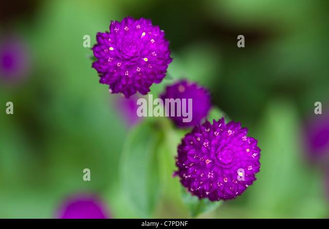 Gomphrena globosa .  Globe Amaranth or Bachelor Button flowers in India - Stock Image