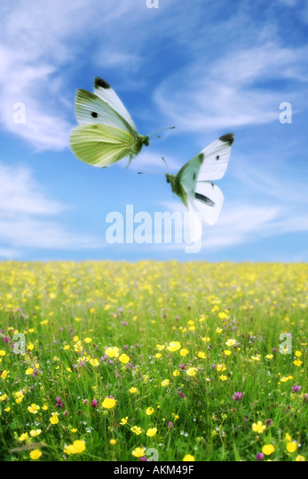 butterfly 5 - Stock Image
