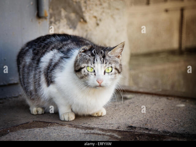 Homeless stripy cat without ear looking at camera - Stock Image