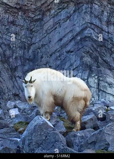 Mountain goat in captivity - Stock-Bilder