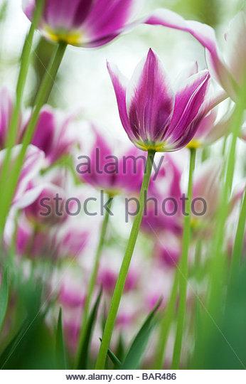 Tulip ballade shallow DOF - Stock Image