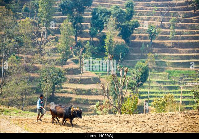 Plowing in Sindhulpalchok District, Nepal - Stock Image