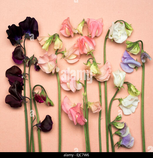 Sweet peas Dynasty Spring Sunshine Champagne Spring Sunshine Peach White Supreme Winter Sunshine Lavender Dark Passion - Stock Image