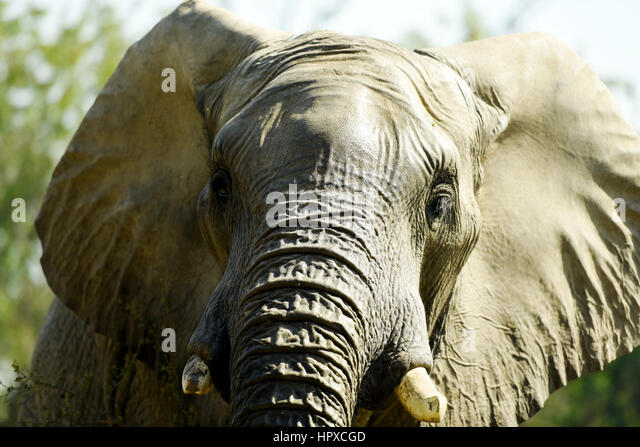 Close-up of an African elephant - Stock Image