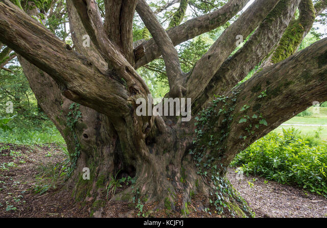 An ancient English Yew tree - Taxus Baccata in woodland in Ireland. All parts of a yew are toxic to humans, additionally, - Stock Image