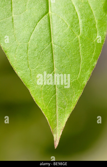 Leaf detail close up - Stock Image