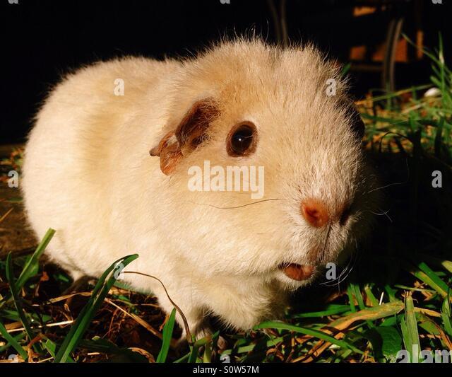 Pet guinea pig - Stock Image