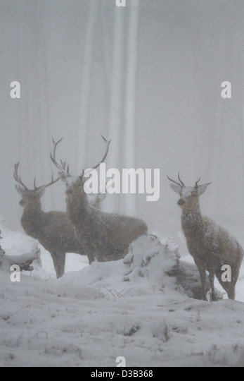 Red deer stags - Stock Image