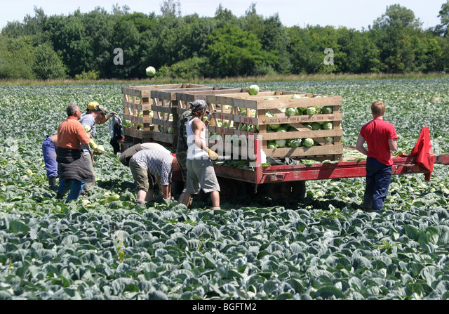 Foreign Workers Harvesting Cabbages In The Lincolnshire Fens - Stock Image