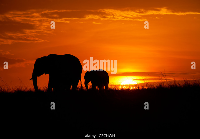 African elephants silhouetted in sunset - Stock-Bilder