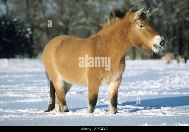fluffy horses - photo #43