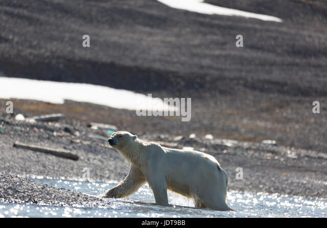 An adult polar bear walks ashore onto a shingle beach in Mushamna, Spitzbergen - Stock Image