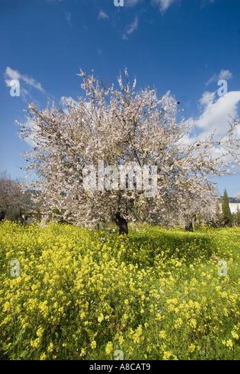 Mallorca almond blossom - Stock Image