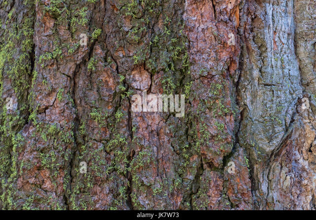 Moss Grows on Sequoia Bark covering image - Stock Image