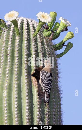 Gila Woodpecker Adult Male - Stock Image