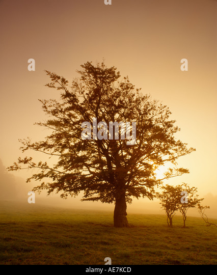 Tree silhouetted in mist against rising sun Drymen Stirling Scotland - Stock-Bilder