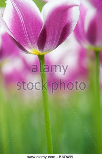 Tulipa. Tulip 'Ballade' flowers at Keukenhof gardens, Lisse, Amsterdam, Holland - Stock Image