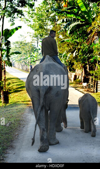 A mahout leading his female elephant along with her 2 calves. - Stock Image