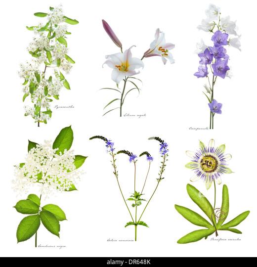 Pyracantha, Lilium regale, Campanula, Sambucus nigra, Salvia nemorosa, Passiflora caerulea flowering in July Leed - Stock Image