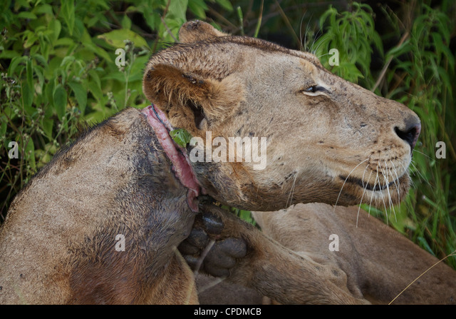 African Lion with snare around its neck  Panthera leo  in Mikumi Game reserve . Southern Tanzania. - Stock Image