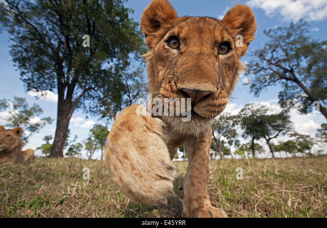 African Lion (Panthera leo) juvenile reaching out with curiosity, Masai Mara National Reserve, Kenya. March - Stock-Bilder