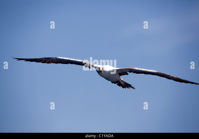 A peruvian booby (Sula variegata) soars near the Cocos Island off the coast of Costa Rica. - Stock Image