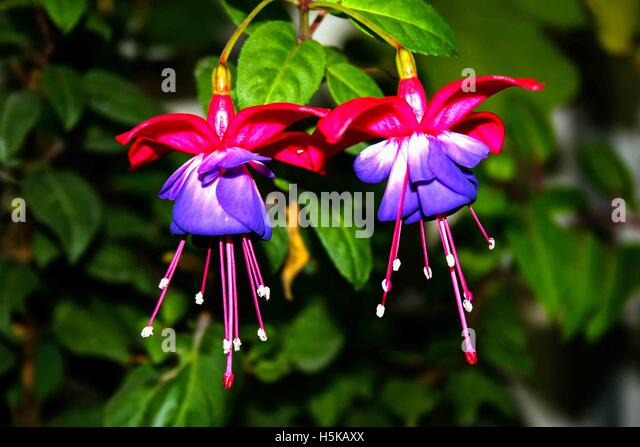 a pair of Fuchsia flowers with a dark background and well lit in pink and mauve - Stock Image